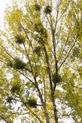 mistletoe in poplars - stock photo