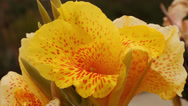 Stock Video Footage of Yellow Tiger Lily