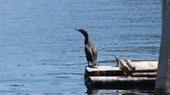 Stock Video Footage of Cormorant