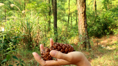 Picking pine cone in the forest Stock Footage