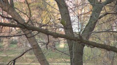 Green woodpecker bird on a tree, Picus viridis, park, forest, woods, winter Stock Footage