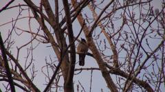 Single crow bird sitting in the tree, raven, sunset, winter, blue sky Stock Footage