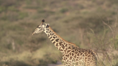 Baby giraffe and birds Stock Footage