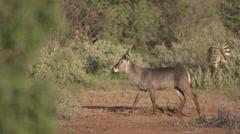 Waterbuck walking  Stock Footage