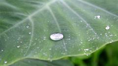 Rain dancing, Water drop on Bonnie leaf surface - stock footage