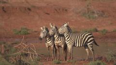Zebras cuddle  Stock Footage