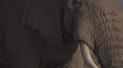 Old elephant bull  Stock Footage