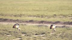 Grey Crowned Crane birds  Stock Footage