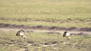 Stock Video Footage of Grey Crowned Crane birds