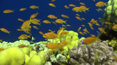 A close shot of Anthias Stock Footage
