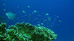 A school of fish at a fire coral Stock Footage