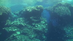 White tip reef shark in Malahi - stock footage