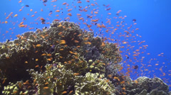 Anthias at a fire coral Stock Footage