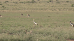 Grey crowned crane jumping in front of 2 cheetahs  Stock Footage