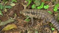Stock Video Footage of Argentine Giant Tegu (Tupinambis merianae)