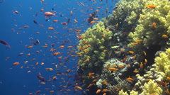 Anthias Brothers Stock Footage