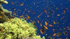 Anthias at the Brothers Stock Footage