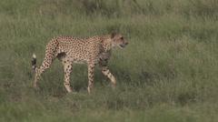 Cheetah walking close  Stock Footage