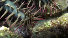 Close-up of Crown of Thorns seastar Stock Footage