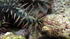 Crown of thorns seastar Stock Footage