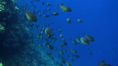 Surgeonfishes Stock Footage
