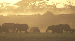Elephant herd walking in line at dusk Stock Footage