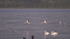 Flamingos flying and landing Stock Footage