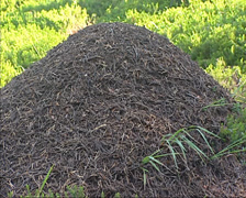 Anthill in shade on mountain slope, made of twigs, leaf stalks, pine needles Stock Footage