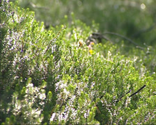 Black crowberry plants on a sunny mountain slope - low angle Stock Footage