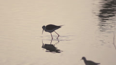 Black-winged Stilt eating in a lake Stock Footage