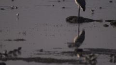 Marabou stork at sunrise in lake Stock Footage