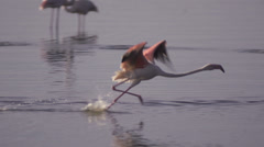 Flamingo takes off from lake Stock Footage