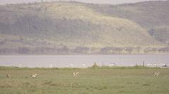 Thomson´s gazelles running Stock Footage