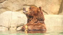 Brown Bear in the Water Stock Footage