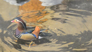 Stock Video Footage of mandarin duck (aix galericulata)
