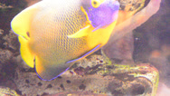 Stock Video Footage of coral fish
