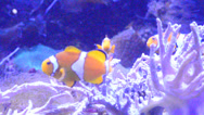Stock Video Footage of clown fishes