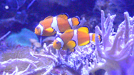Stock Video Footage of clown fish