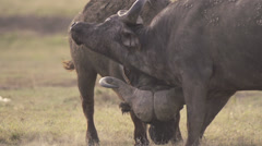 African buffaloes fighting Stock Footage