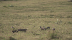 Baby warthogs and guineafowls Stock Footage