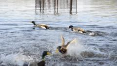 The mallards are squabbling Stock Footage