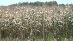 Maize harvest field autumn Stock Footage