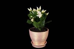 4K. Epiphytic cactus. White schlumbergera flower buds ALPHA matte Stock Footage