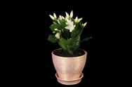 Stock Video Footage of 4K. Epiphytic cactus. White schlumbergera flower buds ALPHA matte