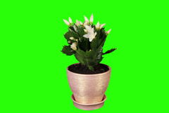 4K. Epiphytic cactus. White schlumbergera flower buds green screen Stock Footage