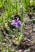 Multicolored iris blooming in spring Stock Photos