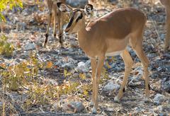 Impala antelope on the alert Stock Photos