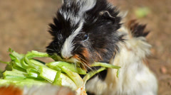 Guinea pig eating Stock Footage