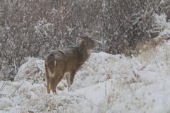 Whitetail Deer Buck in Snow - stock photo