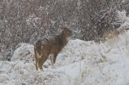 Stock Photo of Whitetail Deer Buck in Snow